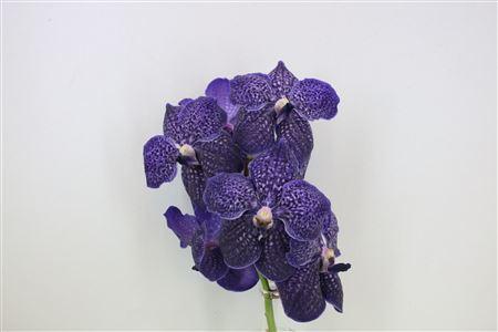 Vanda Su Purple Rain