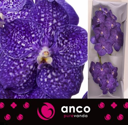Vanda Ni Tweed Blue