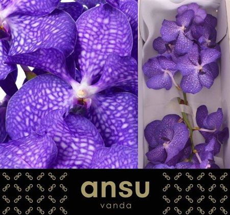 Vanda Kan Blue Magic
