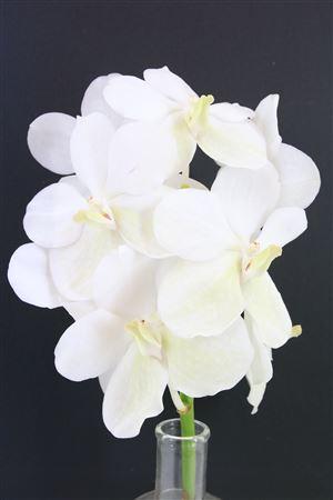Vanda Opal White P/tak