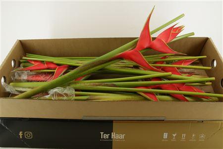 Hel Iris Red 90cm