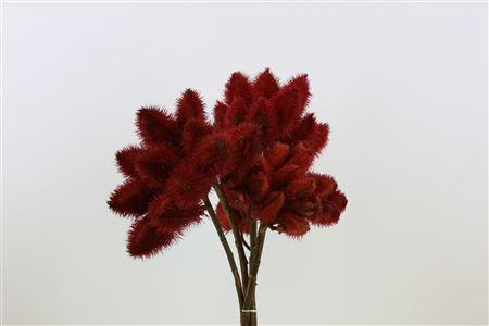 Bixa Red