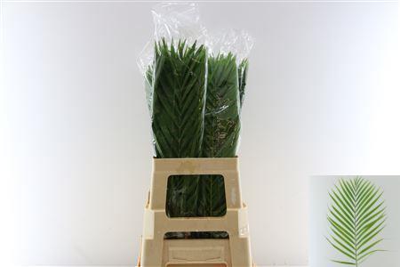 Cane Palm 60cm