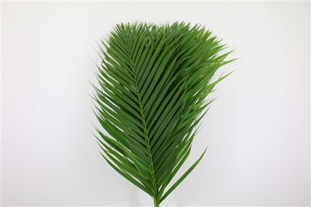 Cane Palm 80cm