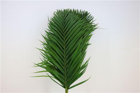 Cane Palm 100cm
