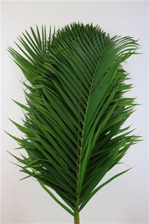 Cane Palm 120cm