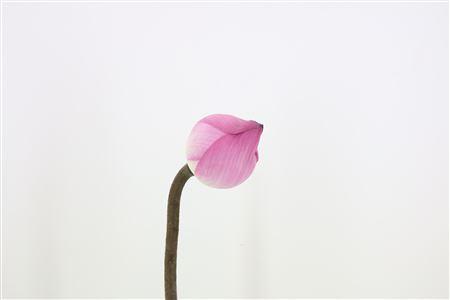 Lotus Bloem Pink